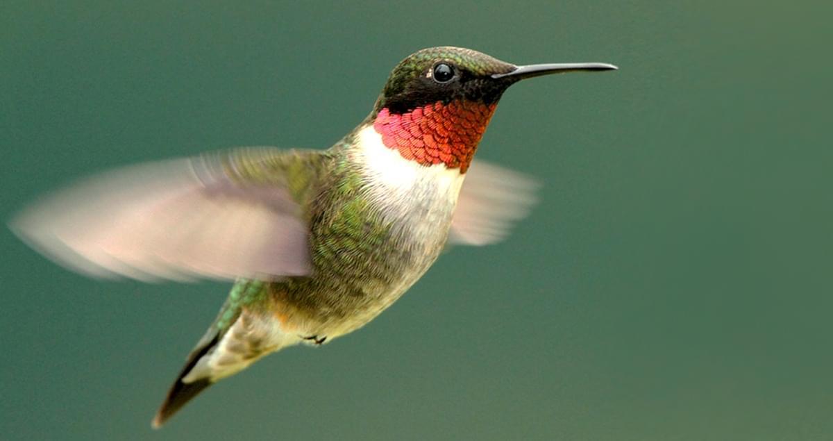 Caption: Ruby Throated Hummingbird, Credit: Cornell Lab of Ornithology