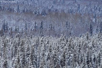Caption: Snowy Forest, Sawbill Trail , Credit: Travis Novitsky