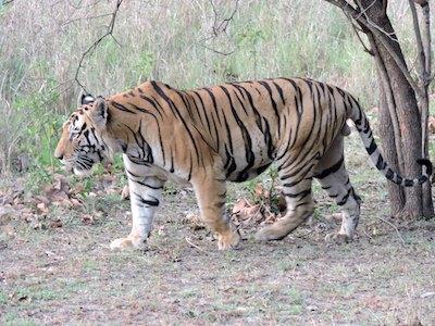 Bengal_tiger_small_small