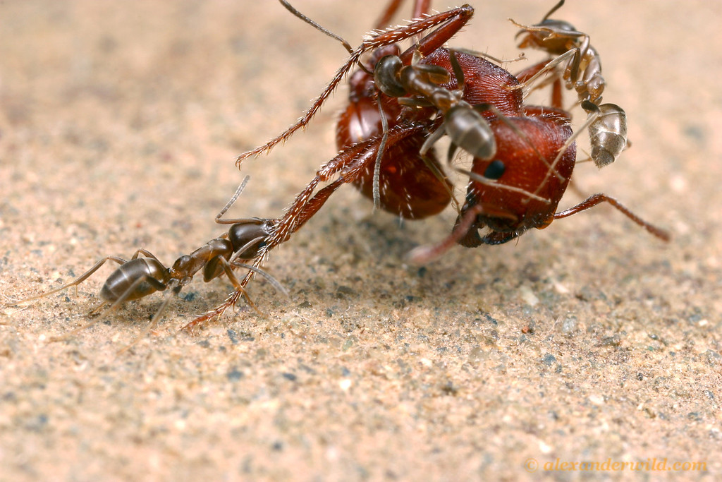 Caption: Cover art by Alex Wild (www.alexanderwild.com): Argentine ants (Linepithema humile), an aggressive pest species introduced by human commerce to California, attack a native Pogonomyrmex harvester ant. Native ants in many places around the world have disapp, Credit: Alex Wild