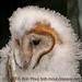 Caption: Barn Owl fledgling