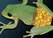 Caption: Frogs' Pants, Credit: Seth Shostak