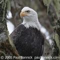 Bald_eagle_pb_300_small