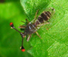 Caption: Stalk eyed Fly, Credit: Dino Martins