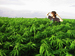 Caption: a man standing in a field of marijuana, Credit: www.treehugger.com