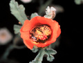 Bee_in_globe_mallow_small