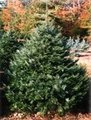 Grandfir_small