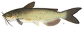 Channel_catfish_small
