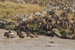 Caption: Wildebeest concentration, Credit: Paula Kahumbu