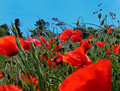 Poppies_small