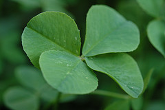 Four_leaf_clover_068_medium