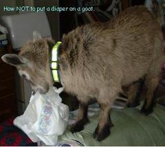 Willy Credit: Never put a diaper on a goat.