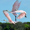 Roseate_spoonbill_flight_small