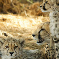 Caption: The magnificent Cheetah, Credit: Mike Hally