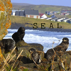 Caption: Northern fur seals by the village of St. Paul, Alaska, Credit: KUCB/John Ryan