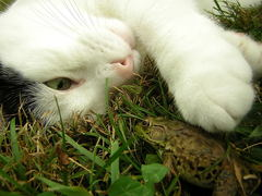 Caption: WILSoN the cat sees eye to eye with a frog, Credit: Paul Messing