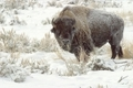 Snowcoveredbuffalo_small