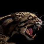 Profil chernyj fon zhivotnyx xishhniki leopard