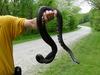 Large_black_snake_4