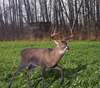 Buck%20forage%20oats%20with%20deer