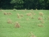 Thumbs_field-of-bermudagrass-with-wiped-and-dying-johnsongrass