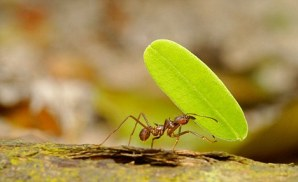 image of a leafcutter ant
