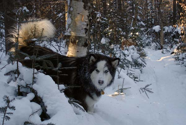 image of the real tookie, sled dog out in the snow