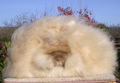 image: angora-rabbit