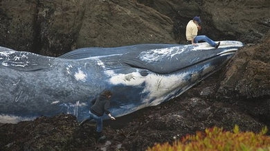 Beached-blue-whale