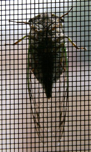 Cicada-390