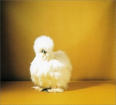 Fairest-fowl-390