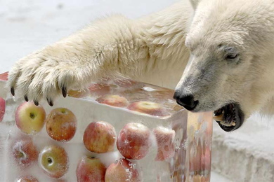 Frozen-apple-polar-bear