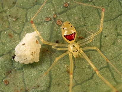 Hawaiian_smiley_face_spider