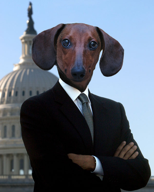Joebama-the-dachshund
