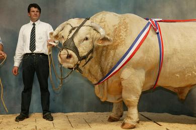 Prize-bull