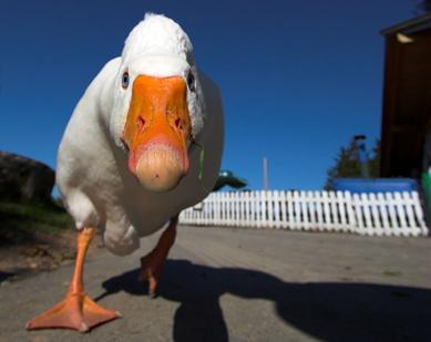 Quack-attack