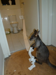 kangaroo in bathroom