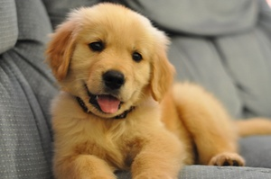 Cute baby golden retriever puppiescute puppy golden retrievers photo 23976164 fanpop   pet care 8teqauxk