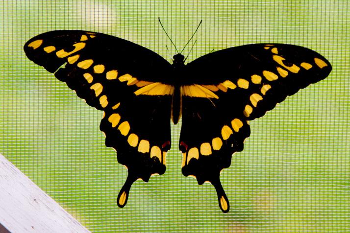 Butterfly_Black