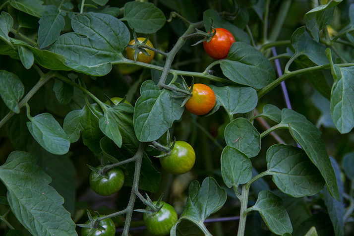When cherry tomatoes are in season, you'd better believe Julia's whipping up some checca sauce.