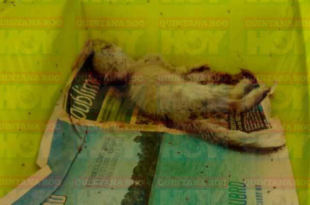 ¡Rescatan-a-60-gatitos-desnutridos-en-refugio-insalubre!