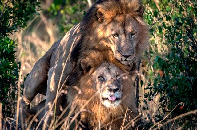 ¡Piden-aislar-a-leones-gays!