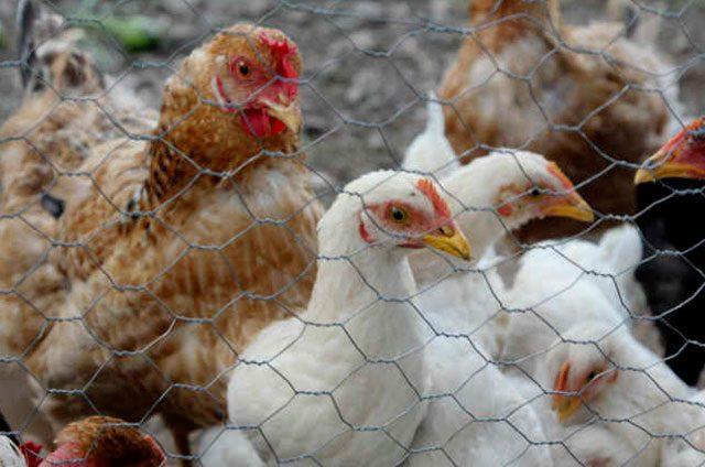 Arrasa-gripe-con-90-de-aves-de-traspatio
