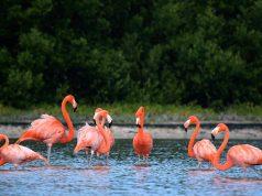 Flamenco-rosa-de-Holbox-en-riesgo