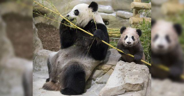 conoce-a-yuan-meng-primer-panda-frances