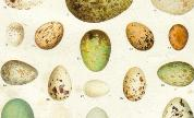 Animal-bird-egg-eggs-of-american-song-birds-new-international-encyclopedia-1902_1405936886_crop_178x108