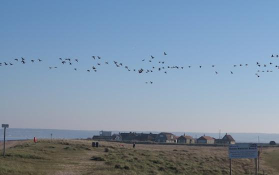 Brent_geese_over_shellness_and_nudist_beach_1614338026_crop_558x350