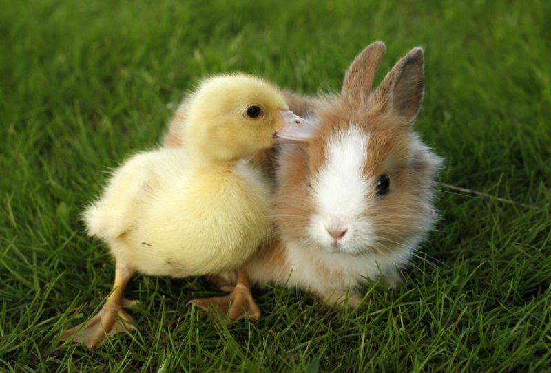 Duckling and tiny baby bunny are best of buds