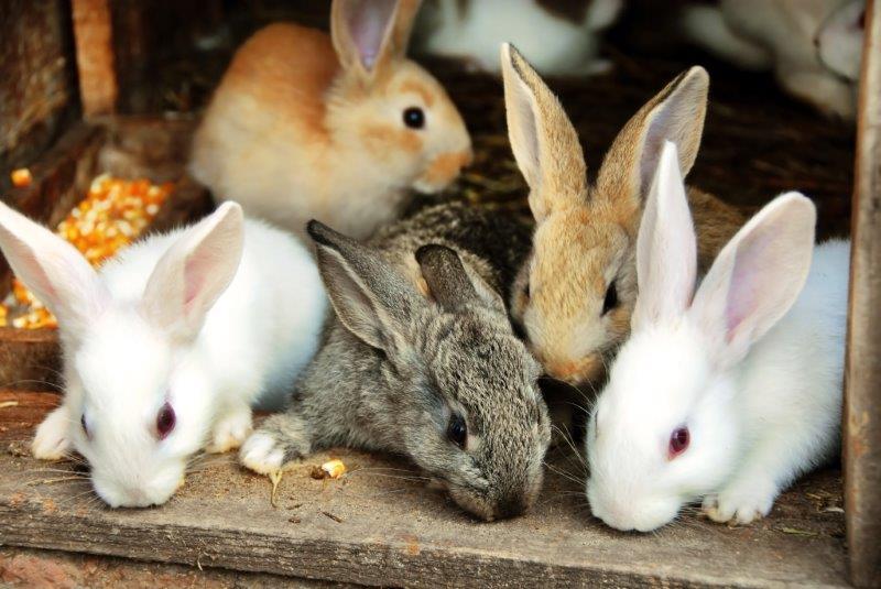 Rabbit buddies play together