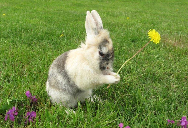 Rabbit holding dandelion